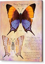 Pansy Daggerwing Butterfly Acrylic Print by Tammy Yee