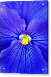 Pansy Flower 37 Acrylic Print by Pamela Critchlow