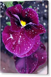 Pansy In The Dew Acrylic Print by Vallee Johnson