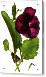 Pansy Purple Acrylic Print