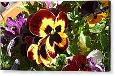 Pansy Time Acrylic Print by Julie Koretz