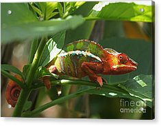 Panther Chameleon Madagascar 1 Acrylic Print by Rudi Prott
