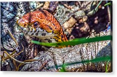 Pantherophis Guttatus Acrylic Print by Rob Sellers