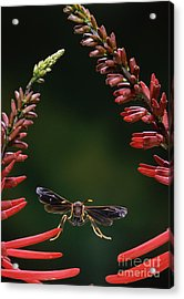 Paper Wasp In Flight Acrylic Print by Stephen Dalton