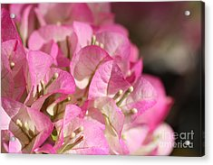 Papery In Pink Acrylic Print by Cathy Dee Janes