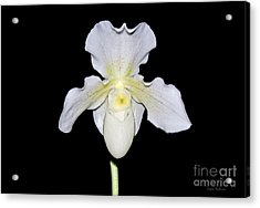 Paphiopedilum Orchid F.c. Puddle Superbum  Acrylic Print