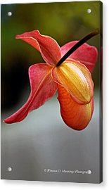 Paphiopedilum Orchid - Slipper Orchid Acrylic Print