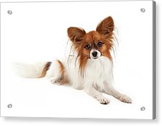 Papillon Dog Laying  Acrylic Print by Susan Schmitz
