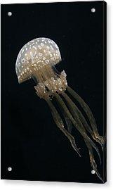Papuan Jellyfish Acrylic Print