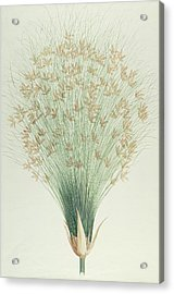 Papyrus Acrylic Print by James Bruce