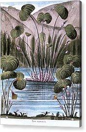 Papyrus Reed (cyperus Papyrus) Acrylic Print