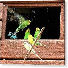 Parakeet Flutter Acrylic Print