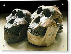 Paranthropus Boisei Skulls Acrylic Print by Science Photo Library