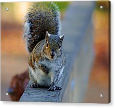 Park Squirrel I Acrylic Print by Daniel Woodrum