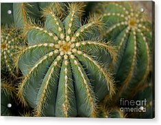 Acrylic Print featuring the photograph Parodia Magnifica by Scott Lyons
