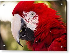 Parrot Acrylic Print by Cathy Donohoue