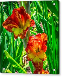 Acrylic Print featuring the photograph Parrot Gladiolus by Rob Sellers