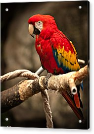 Parrot Acrylic Print by Kerri Garrison