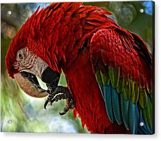 Parrot Preen Hdr Acrylic Print