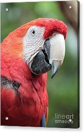 Parrot Profile Acrylic Print by Carol Groenen