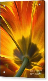 Parrot Tulip - D008405 Acrylic Print by Daniel Dempster