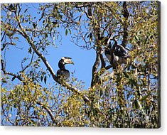 Hornbills With A Black Eye Acrylic Print by Four Hands Art