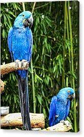 Parroting Parrots Acrylic Print