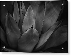 Acrylic Print featuring the photograph Parrys Agave  by Ben Shields