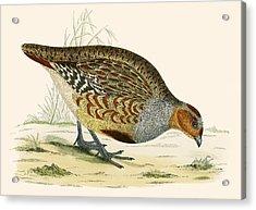 Partridge Acrylic Print by Beverley R Morris