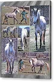 Paso Fino Stallion Horsing Around Acrylic Print by Patricia Keller
