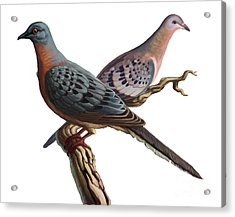 Passenger Pigeon  Acrylic Print by Spencer Sutton