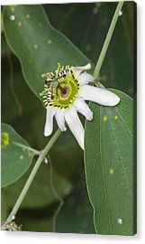 Passiflora Cuneata Acrylic Print by Science Photo Library
