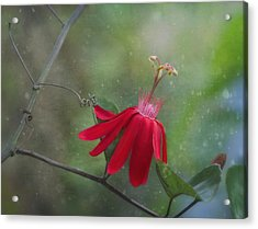 Passiflora Flower Acrylic Print by Kim Hojnacki