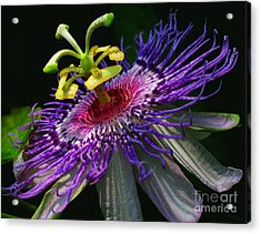 Passion Flower Acrylic Print by Douglas Stucky