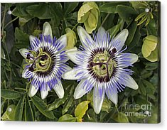 Passion Flower Hybrid Cultivar Acrylic Print by Tony Craddock