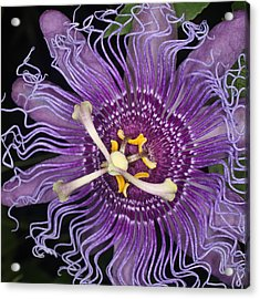 Passion Flower Acrylic Print by Jeff Wright