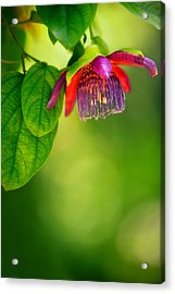 Passion Flower Acrylic Print by Julio Solar