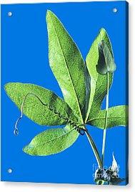 Passion Flower Leaf Acrylic Print by Martyn F. Chillmaid