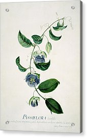 Passion Flower Acrylic Print by Natural History Museum, London/science Photo Library