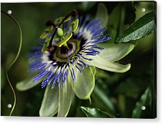 Passion Flower  Passiflora  Blooms Acrylic Print by Robert L. Potts