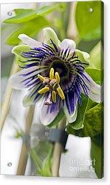 Passion Flower (passiflora Sp.) Acrylic Print by Dr Keith Wheeler