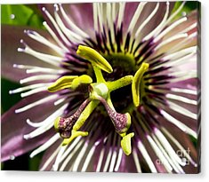 Passion Flower (passiflora 'victoria') Acrylic Print by Ian Gowland