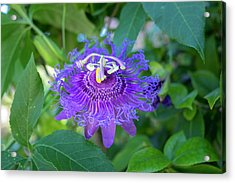 Passion Flower, Usa Acrylic Print