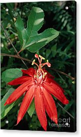 Passion-flower Vine Passiflora Sp Acrylic Print by Gregory G. Dimijian, M.D.