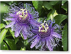Passion Flowers Acrylic Print by Kenneth Albin