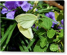 Passion Of The Butterflies Acrylic Print by Robert ONeil