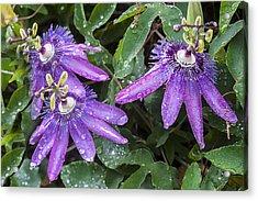 Passion Vine Flower Rain Drops Acrylic Print by Rich Franco