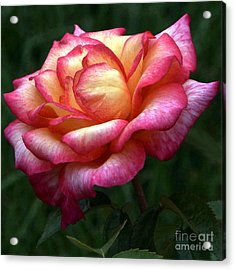 Passionate Shades Of A Perfect Rose Acrylic Print