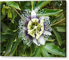 Passionflower  Acrylic Print by Noreen HaCohen