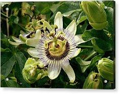Passionflower (passiflora Caerulea) Acrylic Print by Adrian Thomas